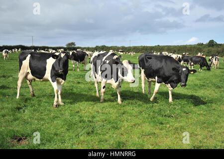 herd of holstein dairy cows
