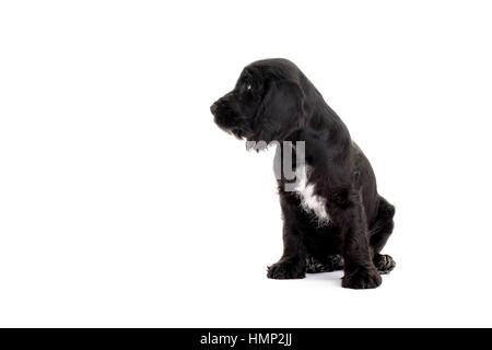 A studio shot of a cute Cockapoo, eight week old puppy taken against a plain white background - Stock Photo