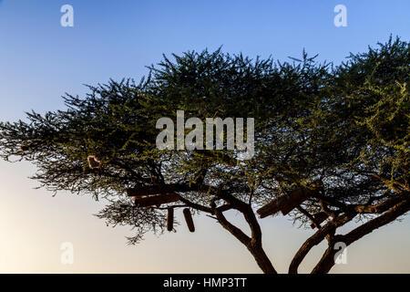 Bee Hives In A Tree, Arba Minch, Ethiopia - Stock Photo