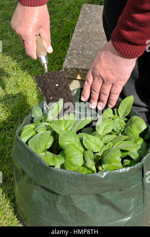 Warwickshire, England · Gardener Topping Up Potatoes With Compost Growing  In A Space Saving Patio Bag Or Vegetable Growing