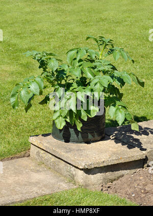 ... Container Growing Potatoes In A Space Saving Patio Bag Of Compost.  Variety Charlotte, A