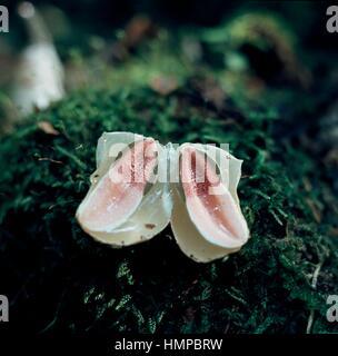 Dog stinkhorn (Mutinus caninus), Phallaceae. - Stock Photo