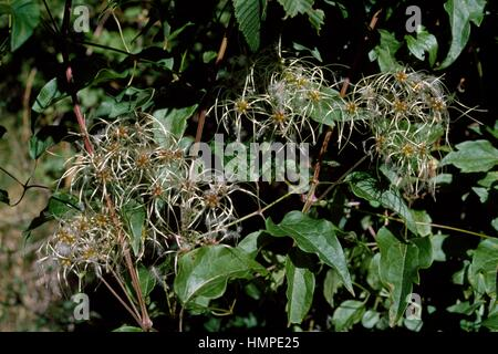 Traveller's-joy (Clematis vitalba), Ranunculaceae. - Stock Photo