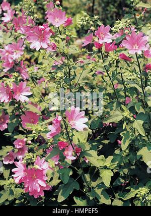 Vervain Mallow (Malva alcea), Malvaceae. - Stock Photo