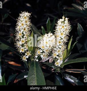 Leaves and flowers of Cherry laurel (Prunus laurocerasus), Rosaceae. - Stock Photo