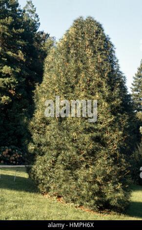 Koyamaki or Japanese Umbrella-pine (Sciadopitys verticillata), Sciadopitiaceae. - Stock Photo