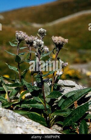 Alpine Sawwort (Saussurea alpina), Asteraceae. - Stock Photo