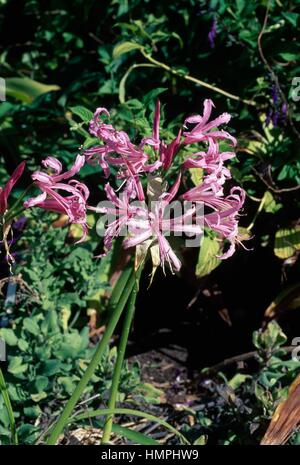 Cornish lily, Cape flower or Guernsey lily (Nerine bowdenii), Amaryllidaceae. - Stock Photo