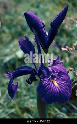 English iris (Iris latifolia), Iridaceae. - Stock Photo