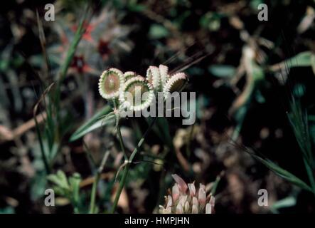 Mediterranean hartwort in bloom (Tordylium apulum), Apiaceae. - Stock Photo