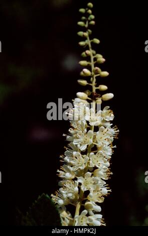 Sweet pepperbush, anne bidwell or summersweet (Clethra alnifolia), Clethraceae. - Stock Photo