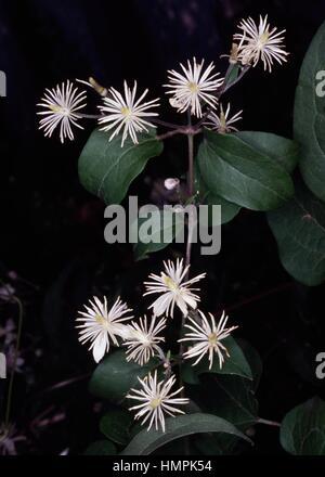 Old man's beard or Traveller's Joy (Clematis vitalba), Ranunculaceae. - Stock Photo