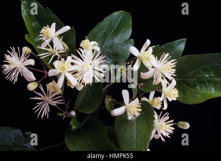 Flowering Old man's beard or Traveller's joy (Clematis vitalba), Ranunculaceae. - Stock Photo