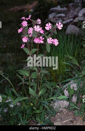 Red campion (Silene dioica or Melandrium rubrum), Caryophyllaceae. - Stock Photo