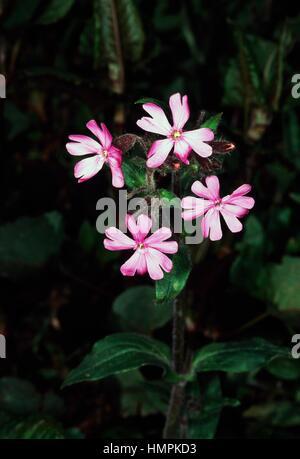 Flowering Red campion (Silene dioica or Melandrium rubrum), Caryophyllaceae. - Stock Photo