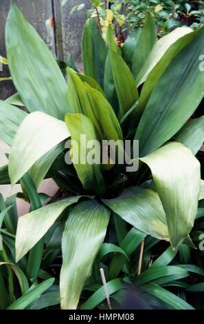 Cast-iron Plant or Barroom Plant (Aspidistra elatior), Asparagaceae. - Stock Photo