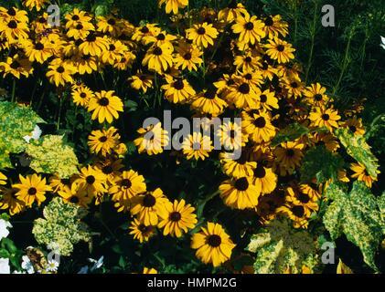 Showy Coneflower (Rudbeckia speciosa), Asteraceae. - Stock Photo