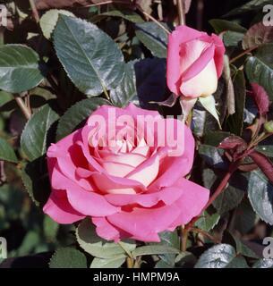 Ornella Muti rose, Rosaceae. - Stock Photo