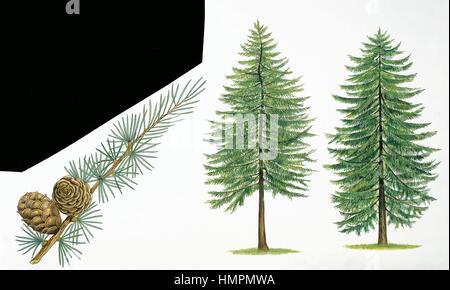Botany - Trees - Pinaceae -  Leaves and cones of Japanese Larch (Larix kaempferi); European Larch (Larix decidua). - Stock Photo