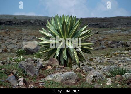 Giant lobelia (Lobelia rhynchopetalum), Lobeliaceae, Sanetti Plateau, Bale Mountains National Park, Ethiopia. - Stock Photo