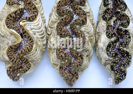 Three live Giant clam (Tridacna gigas) from Fiji.Tridacna gigas is one of the most endangered clam species. - Stock Photo