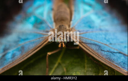 Peleides blue morpho butterfly also known as Morpho peleides - Stock Photo