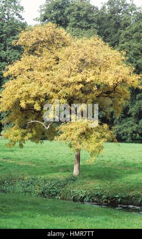 Southern Ash or Narrow-Leafed Ash (Fraxinus angustifolia), Oleaceae. - Stock Photo