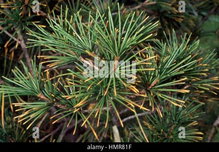 Koyamaki leaves (Sciadopitys verticillata), Sciadopitiaceae. - Stock Photo