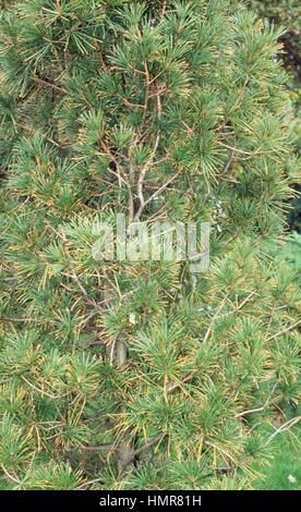 Koyamaki foliage (Sciadopitys verticillata), Sciadopitiaceae. - Stock Photo