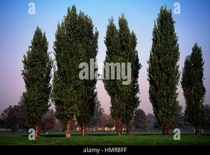 Black Poplar specimens (Populus nigra), Salicaee. Lombardy plain, Italy. - Stock Photo