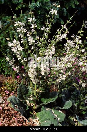 Silver sage, Silver salvia or Silver clary in bloom (Salvia argentea), Lamiaceae. - Stock Photo