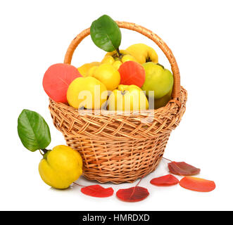 Ripe quince in the basket and autumn red leaves isolated on white - Stock Photo