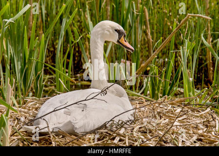 A mute swan sitting on its nest. - Stock Photo