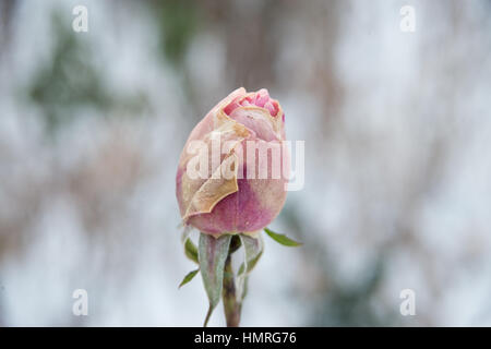 Frozen pink rose in winter - Stock Photo