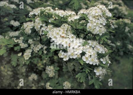 Botany - Rosaceae. Hawthorn (Crategus L.) Flowers - Stock Photo