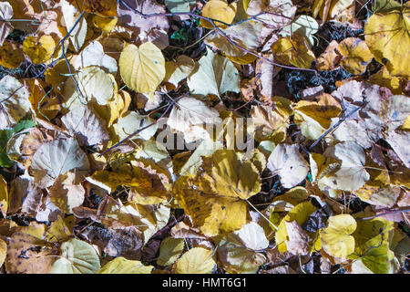 Fallen autumn yellow leaves of lime closeup - Stock Photo
