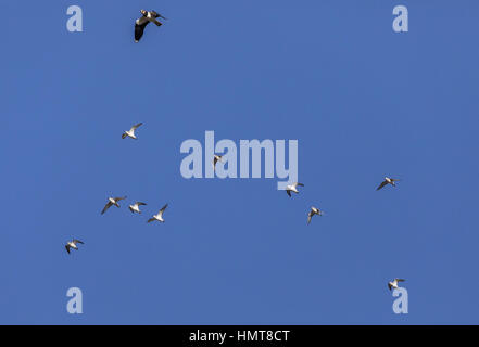 Flock of Golden Plover, Pluvialis apricaria with Lapwing, Vanellus vanellus in flight in midwinter, Bridgwater Bay, - Stock Photo