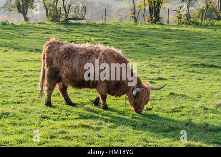 A highland cow eating grass in a field on a farm in Staffordshire - Stock Photo