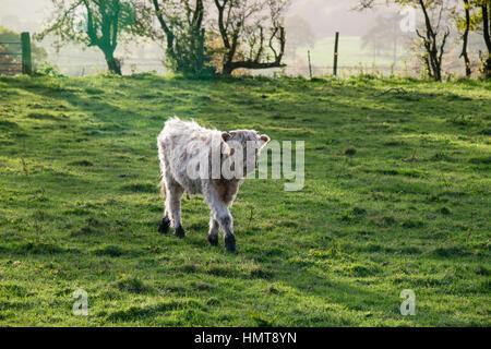 A white calf walks through a field on a farm in Staffordshire - Stock Photo