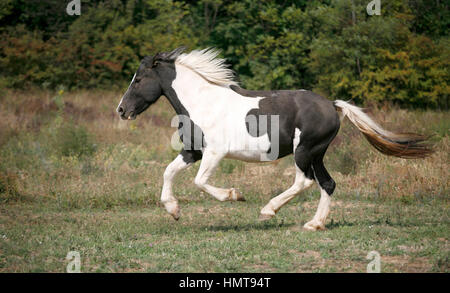 American young paint horse running gallop across a green field pasture summer time - Stock Photo