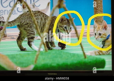 Wantagh, USA. 5th Feb, 2017. During Hallmark Channel's Kitten Bowl IV television show, with two kitten players circled - Stock Photo