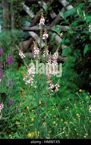 Purple Toadflax or Ivy leaved Toadflax (Linaria purpurea or Cymbalaria muralis), Plantaginaceae. - Stock Photo