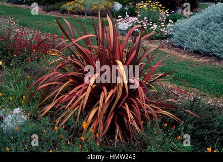 new zealand flax phormium rainbow sunrise stock photo royalty free image 21374300 alamy. Black Bedroom Furniture Sets. Home Design Ideas