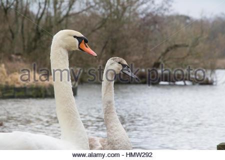 Mute swan with cygnet (Cygnus olor) - Stock Photo
