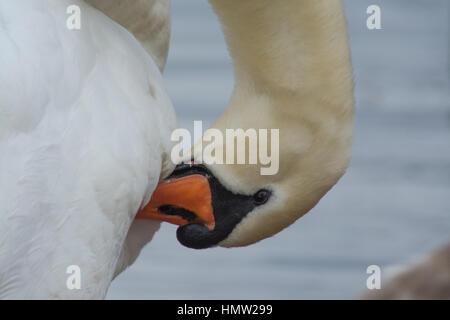 Mute swan (Cygnus olor) preening - Stock Photo
