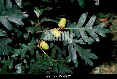 white oak quercus alba acorn and reindeer lichen
