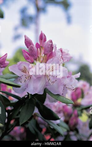 Botany - Ericaceae. Rhododendron Mrs. Charles E. Pearson. Flowers - Stock Photo