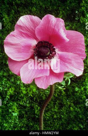 Poppy anemone or Spanish marigold (Anemone coronaria De Caen), Ranunculaceae. - Stock Photo