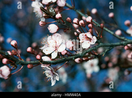 Myrobalan Plum flowers and blossoms (Prunus cerasifera Pissardii), Rosaceae. - Stock Photo