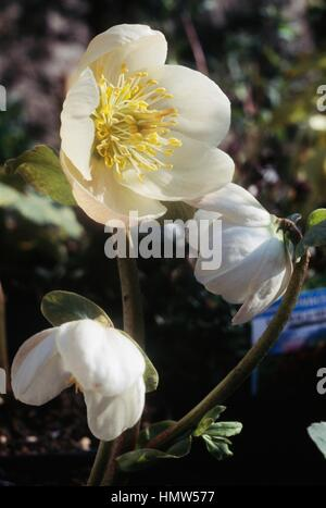 Christmas rose or Black hellebore (Helleborus niger), Ranunculaceae. - Stock Photo